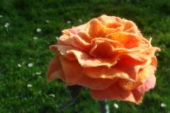 Rose-004